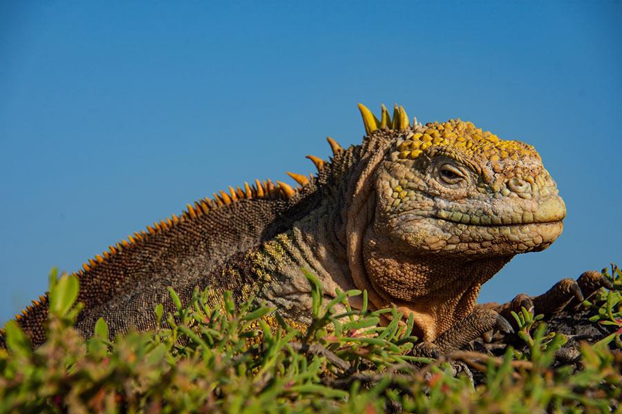 Galapagos land iguana basking in the sun at South Plaza Island