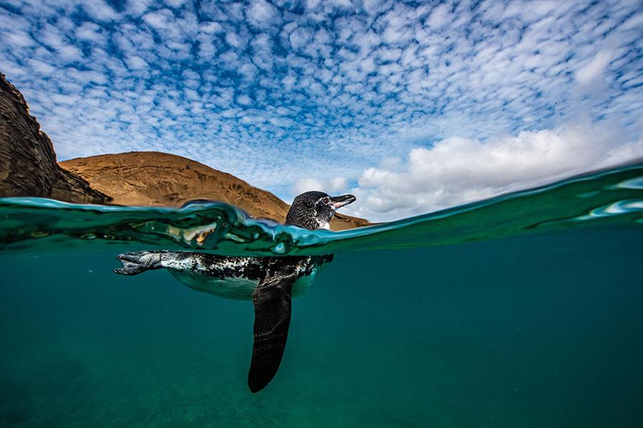 Galapagos Penguin swimming in Bartolome Island