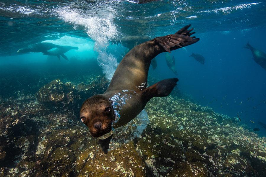 Galapagos Sea Lions swimming by Fernandina Island in Galapagos