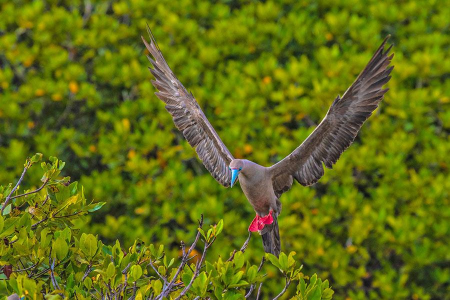 Red-footed booby at Darwin Bay in Genovesa Island