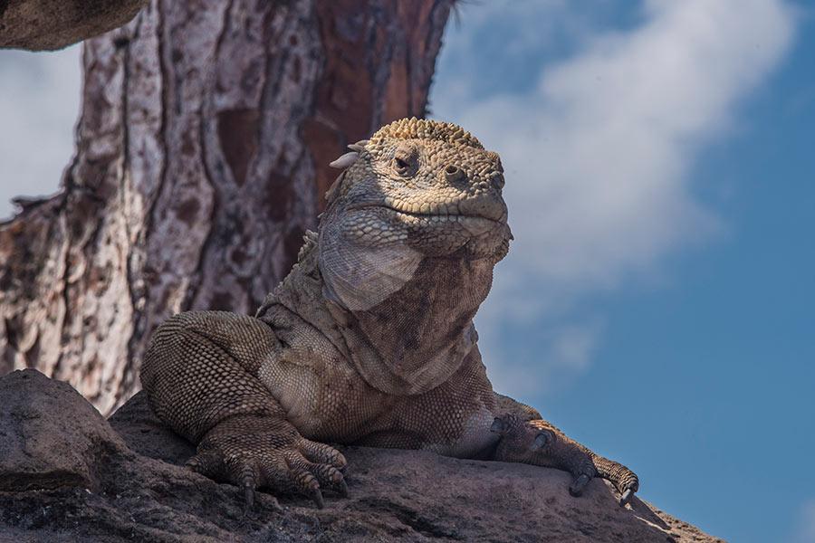 Santa Fe Land Iguana: One of Galapagos' Endemic Species
