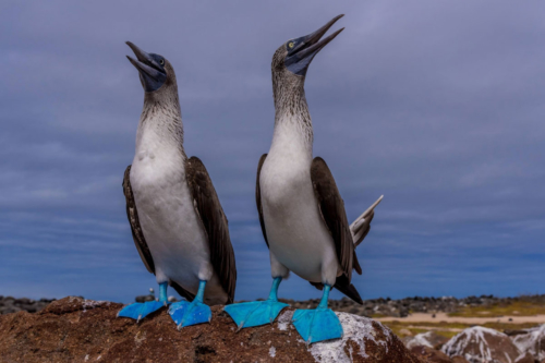 Blue Footed Boobie Galapagos Basics