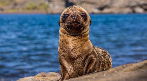 Fur seal pup. Galapagos Travel Guide