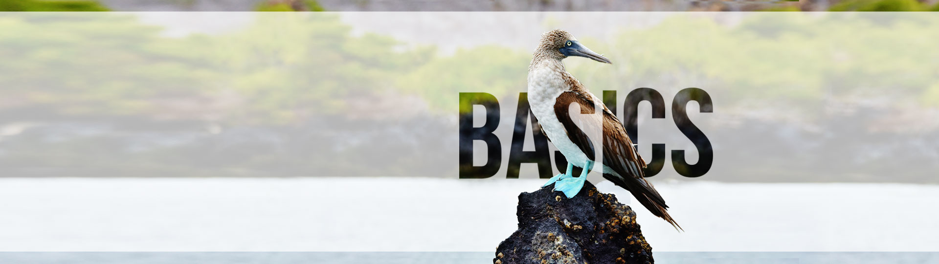 Blue footed Booby Galapagos Basics. Galapagos Travel Guide