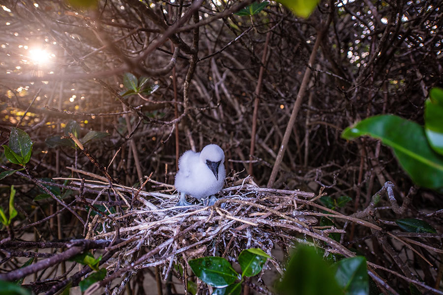 Blue-footed booby chick in Genovesa Island in Genovesa Island