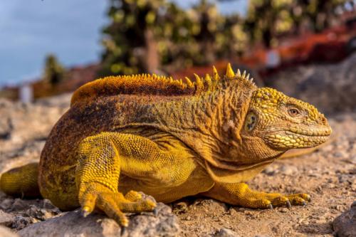 Land Iguana Galapagos Basics