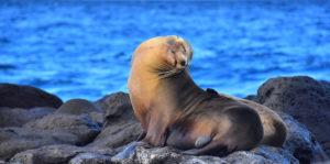 Lobo de mar en las Islas Galápagos