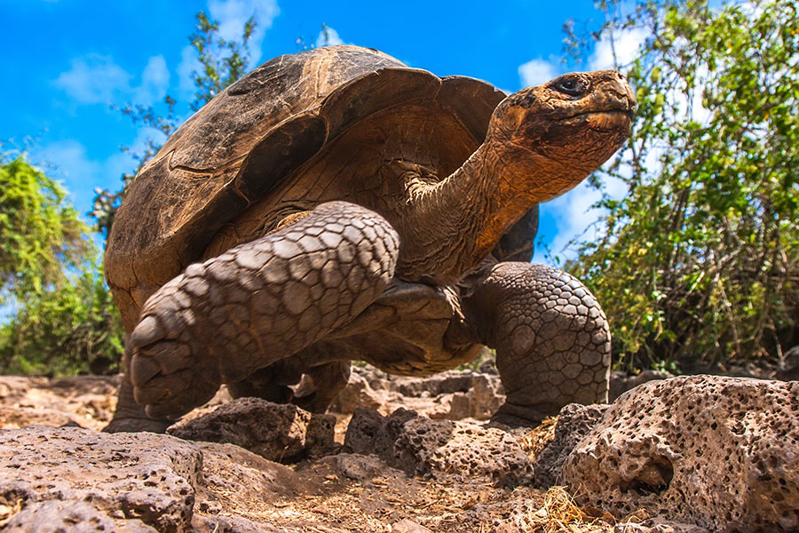 Galapagos is one of the South America hidden gems, an example of this is Galapagos Giant Tortoise
