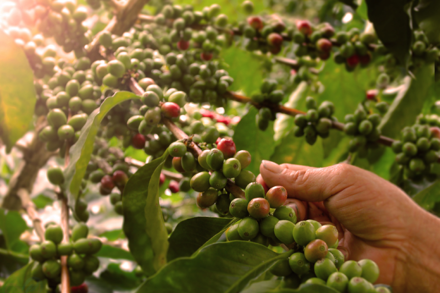 Colombian Coffee is one of the most renowned beans in the world!