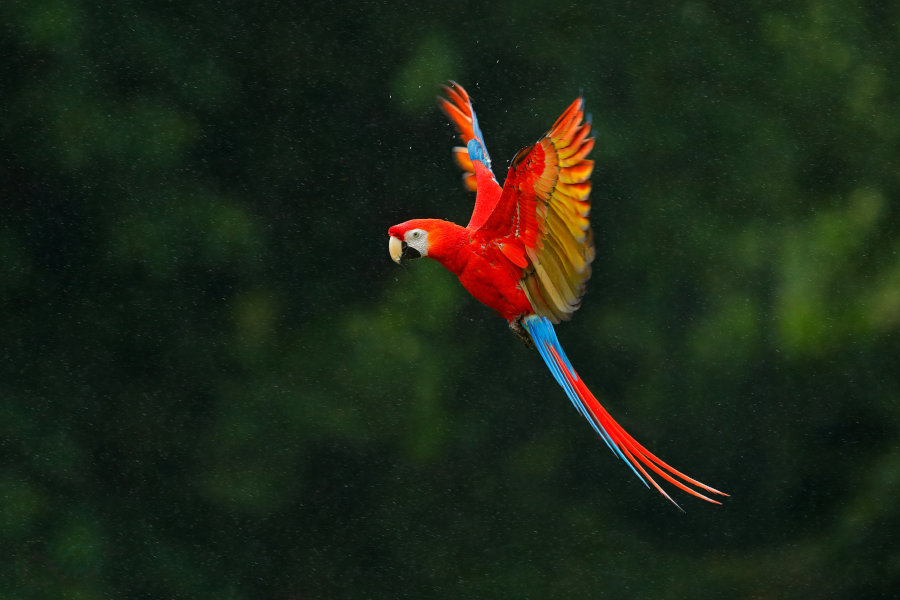 A breathtaking Scarlet Macaw in Colombia